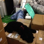The office dog relaxing after a hard day's unpacking